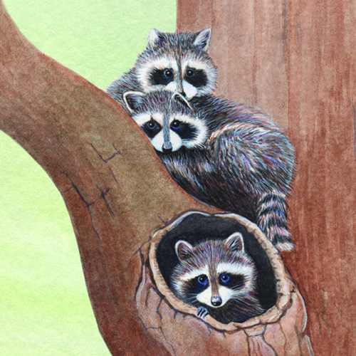 3 Raccoons in a tree snuggling, watercolor