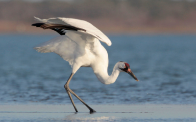 Whooping Cranes – Wintering in Texas